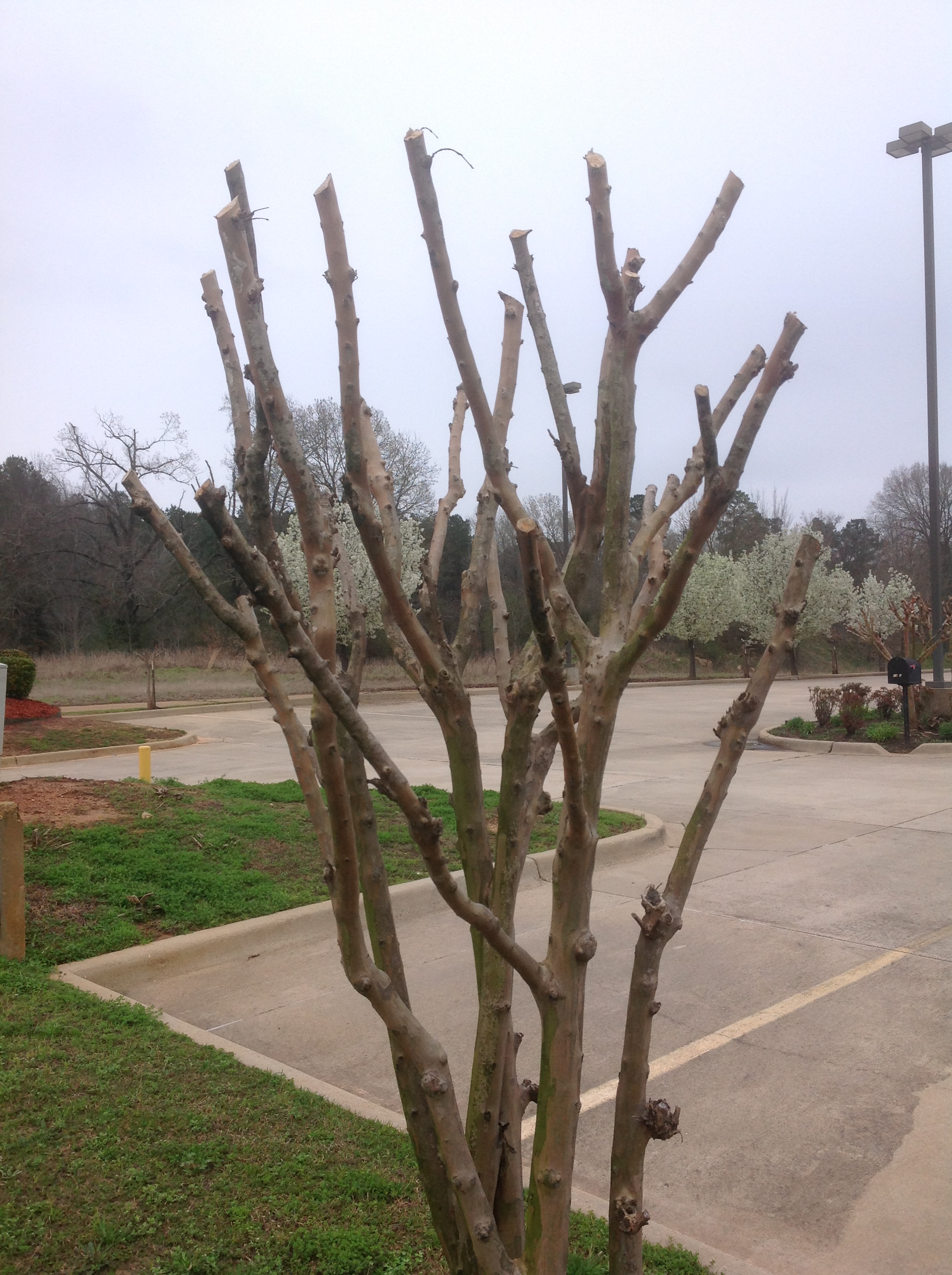 Prune E Myrtle Trees Properly