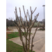 Prune crape myrtle trees properly