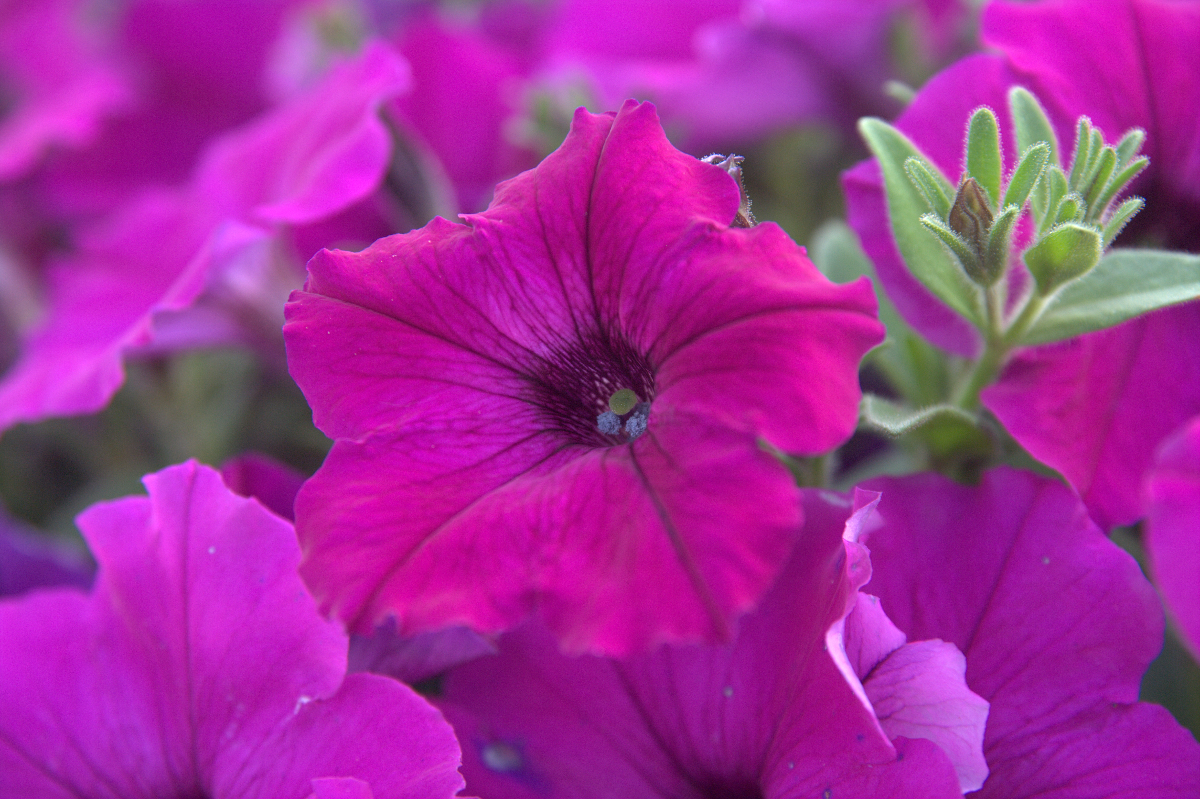 Follow these tips to improve petunia performance