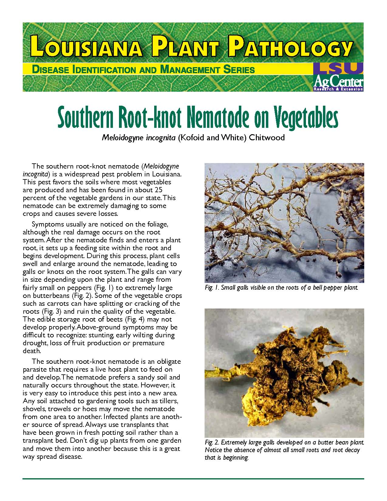 Louisiana Plant Pathology:  Southern Root-knot Nematode on Vegetables