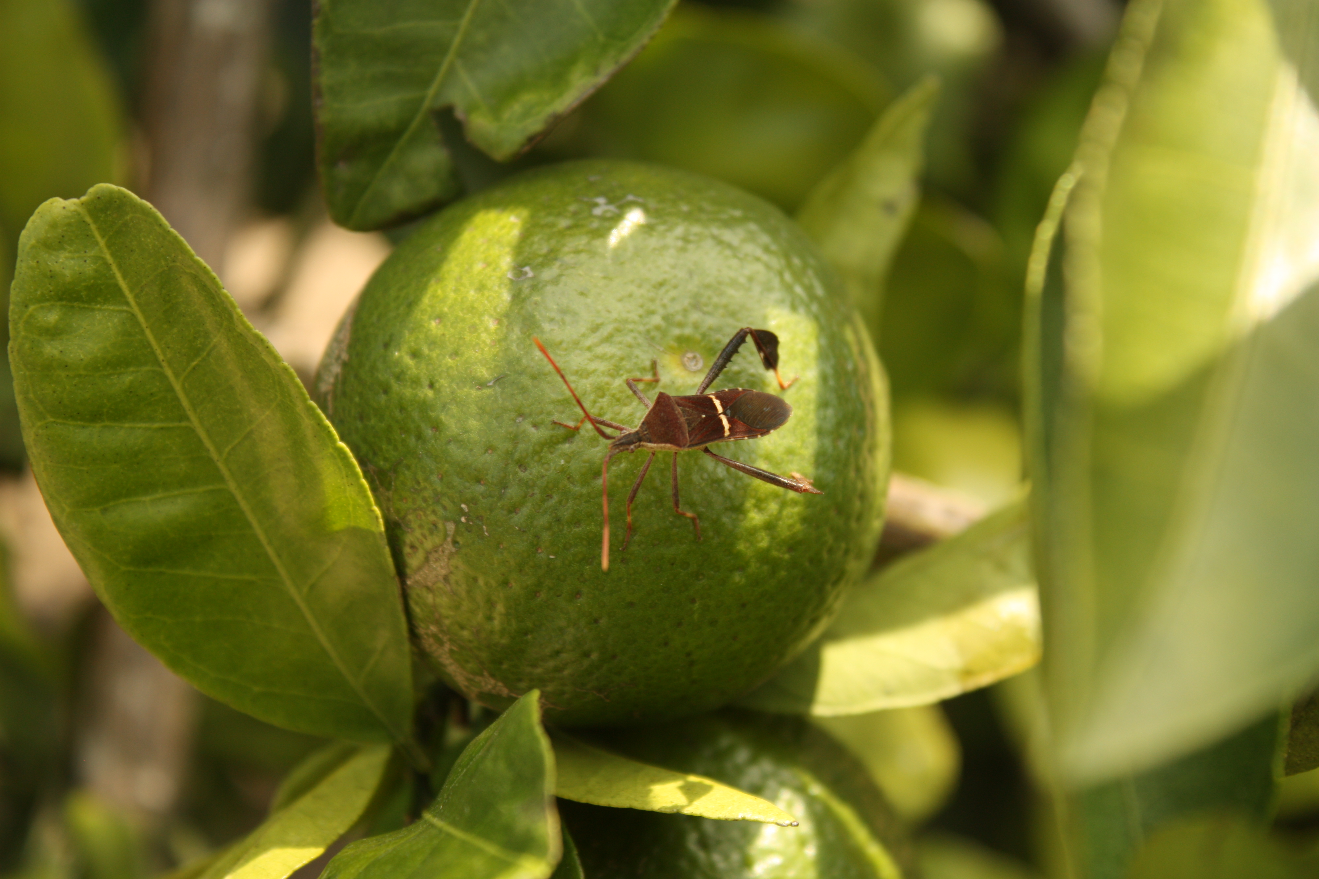 Citrus Insect Study, 4th Posting
