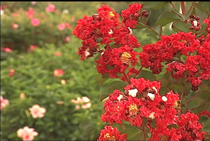 Crape myrtles are perfect trees for summer color