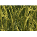 New herbicide-resistant rice variety introduced