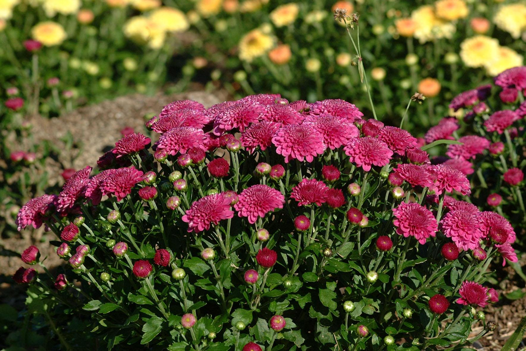 chrysanthemums bring brilliant color to fall gardens