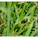 Diseases of Southern Turfgrasses (PDF)