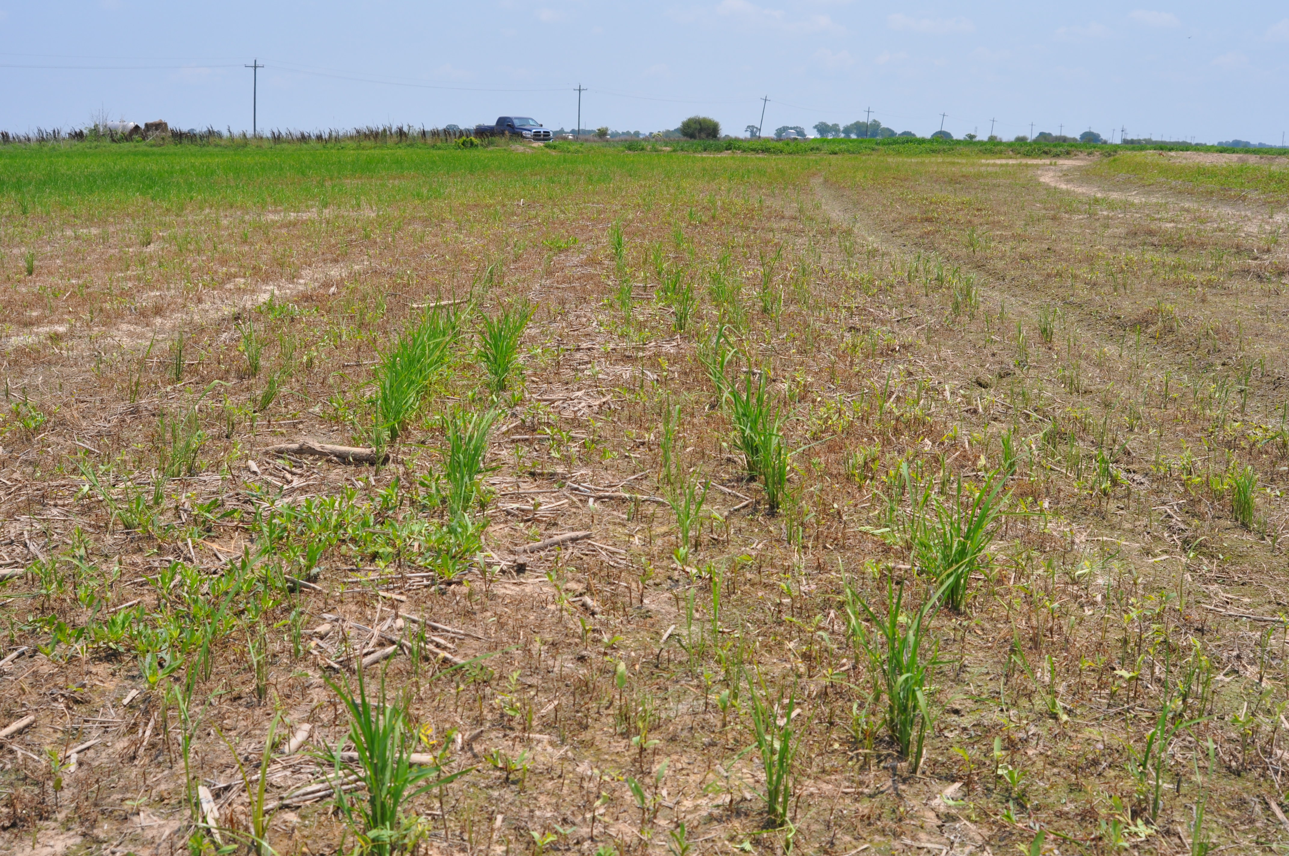 Fall Armyworm Infested Field