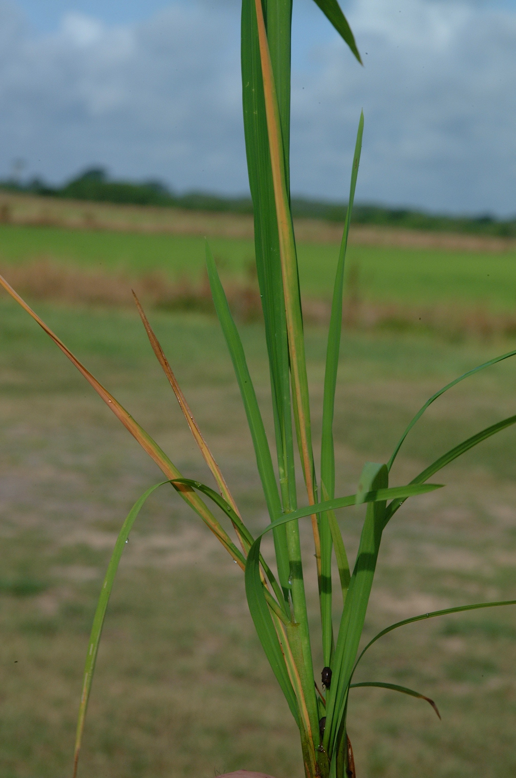 Amaurochrous dubius injury on rice.