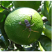 The Leaf-Footed Bug, A Common Fall Pest of Satsumas