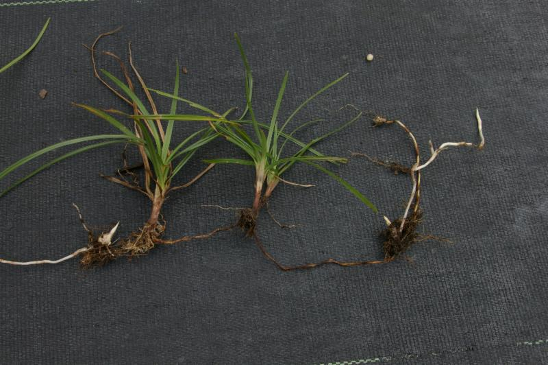 purple nutsedge produces chains of tubers making hand removal difficult.jpg thumbnail