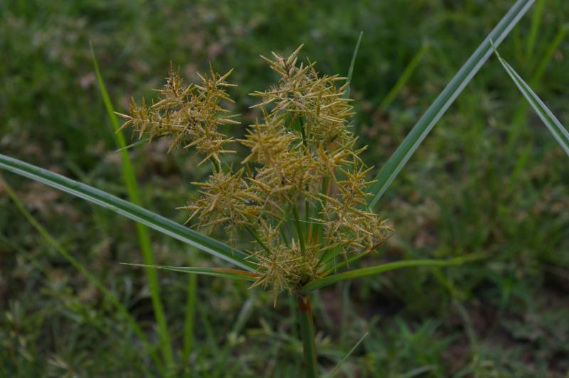 Yellow nutsedge is often found irrigated landscape beds.jpg thumbnail