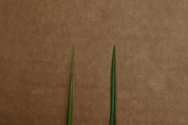 yellow nutsedge leaf on the left versus purple nutsedge leaf on the righ.._.jpg thumbnail