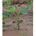 Soybean Growth and Development - Axillary Branches