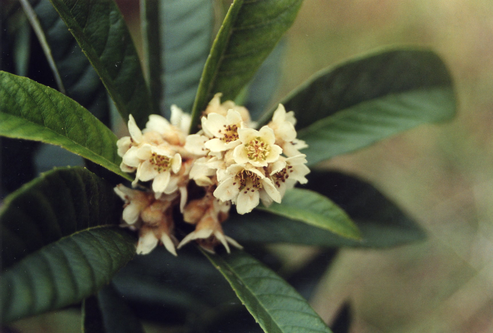 Growing Loquats in Louisiana