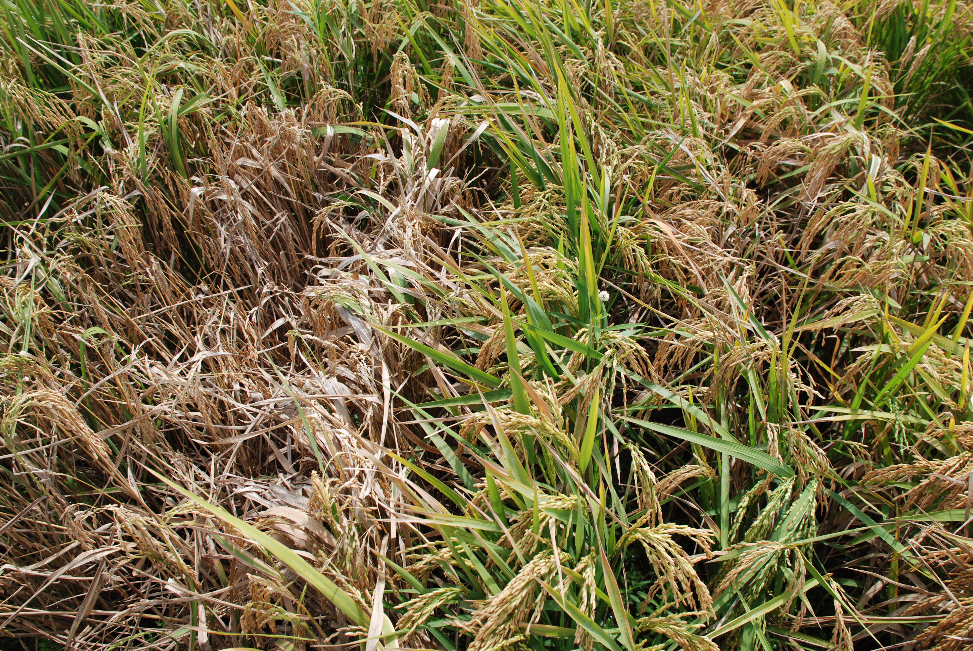 Sheath Blight-Resistant and Susceptibe Lines