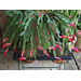 Holiday cactuses are easy-care plants