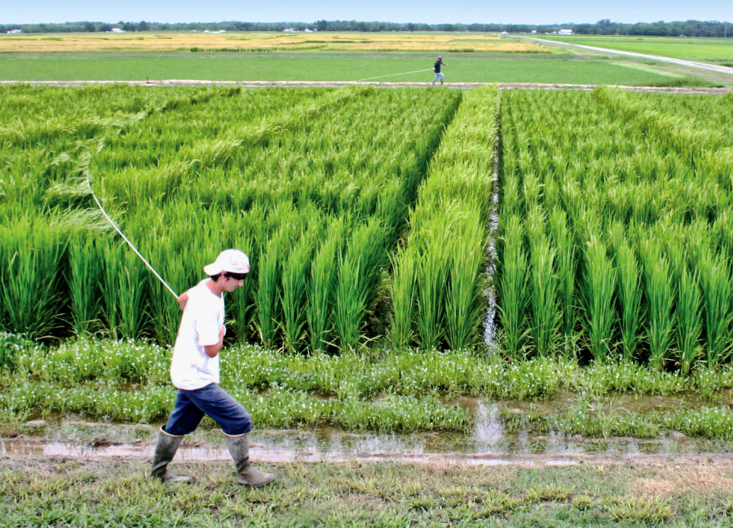 Progress made toward hybrid rice, but its still years away