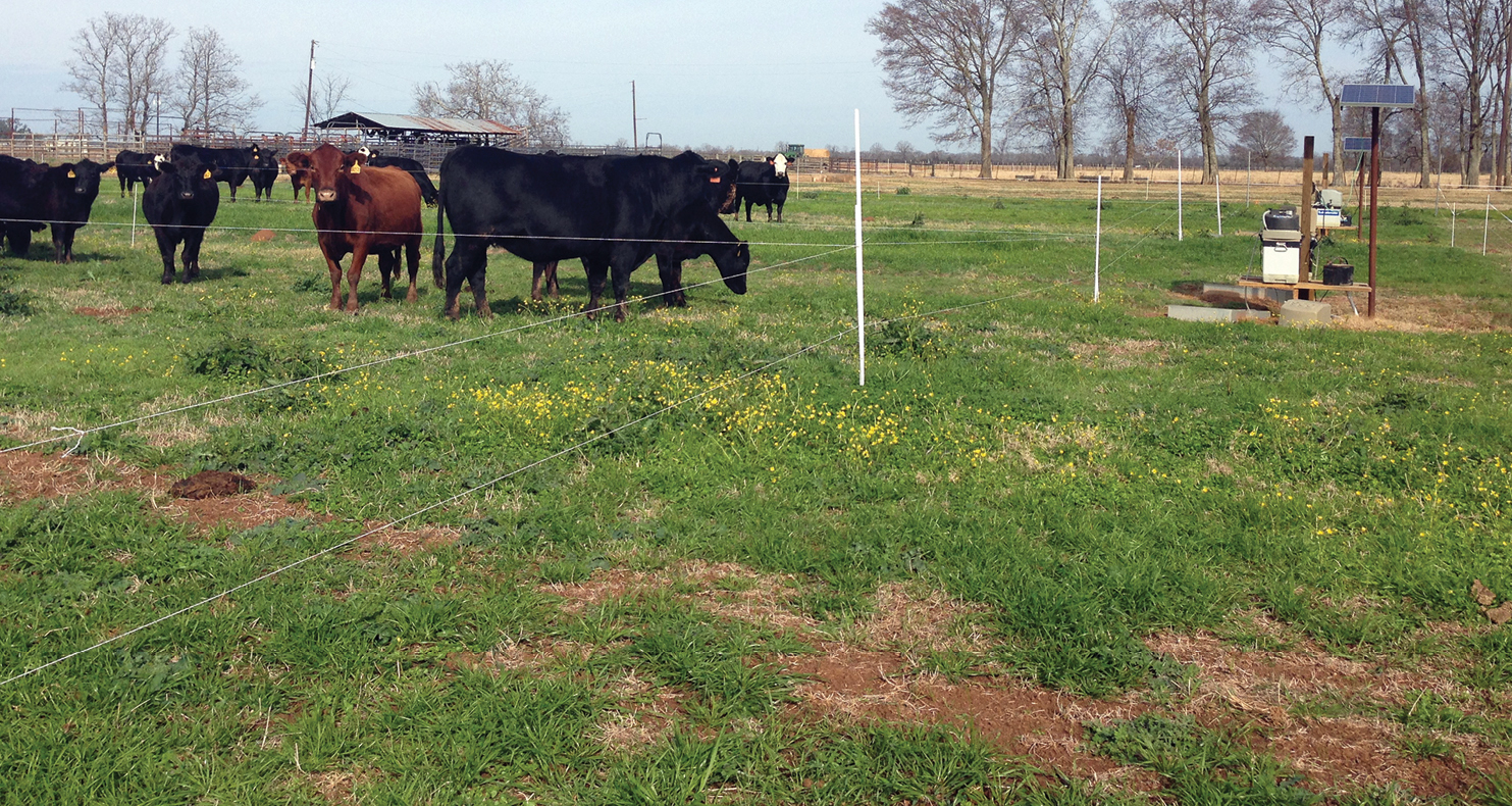 Sixteen mature cows graze the drill-seeded ryegrass plot at the Dean Lee Research and Extension Stat