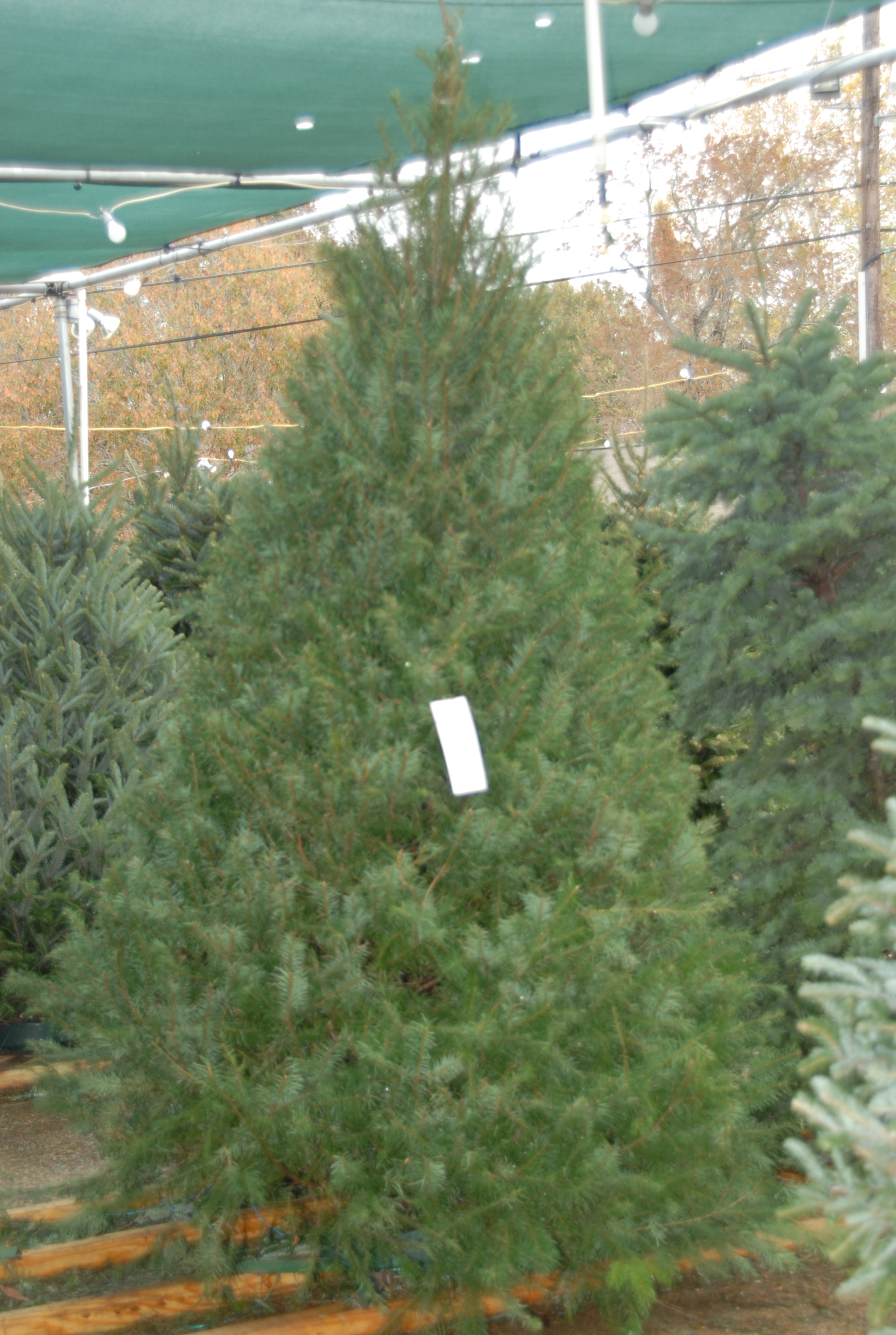 LSU AgCenter offers tips for selection, care of Christmas trees