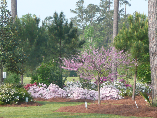 Redbuds and azaleas are some of the earliest blooming shrubs and trees in spring..JPG thumbnail