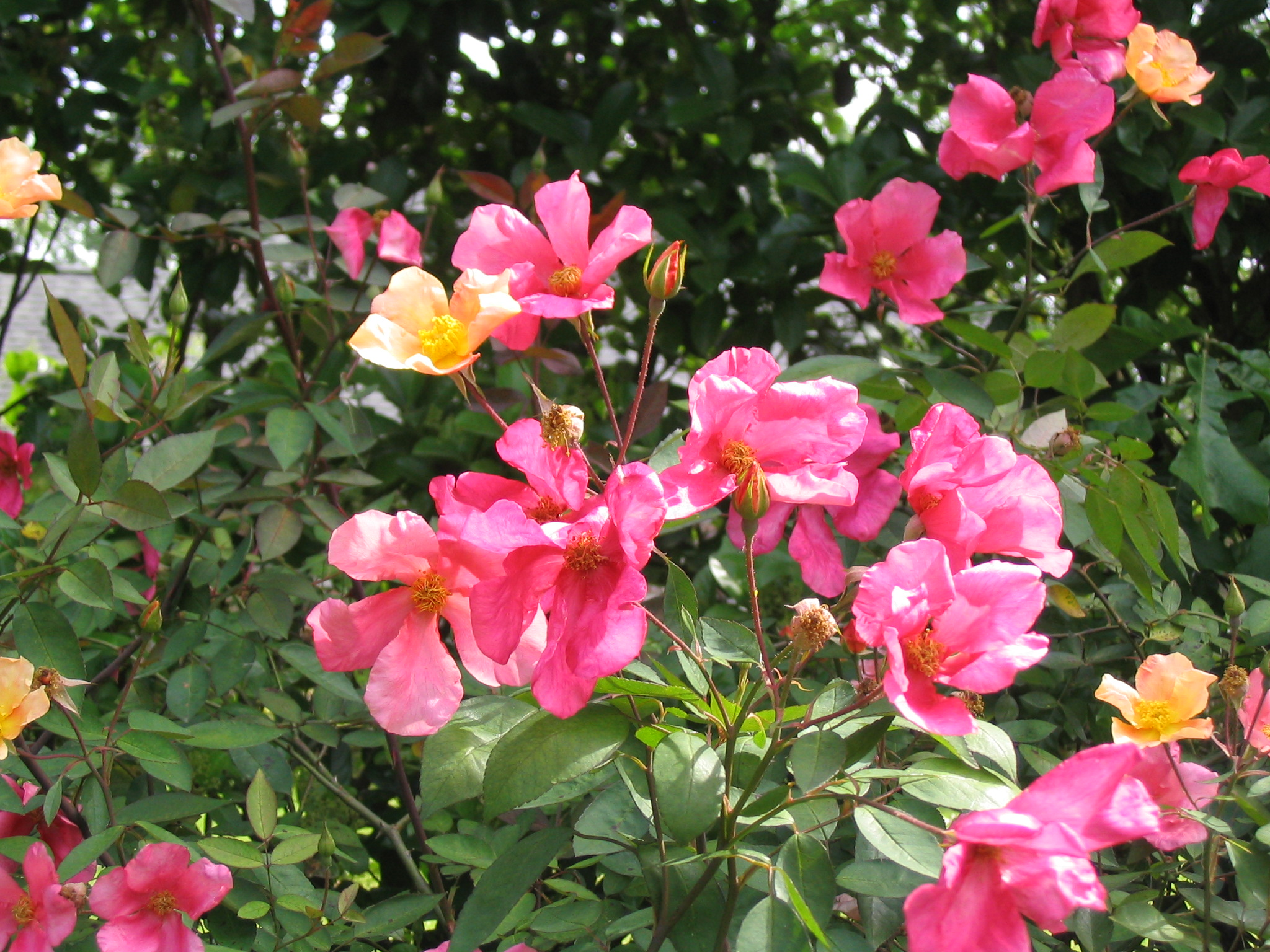 Plant roses in winter for beautiful blooms