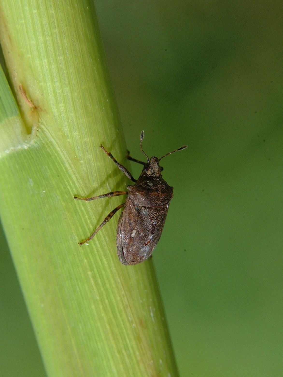Amaurochrous dubius adult – formerly called black rice bug or turtle bug.