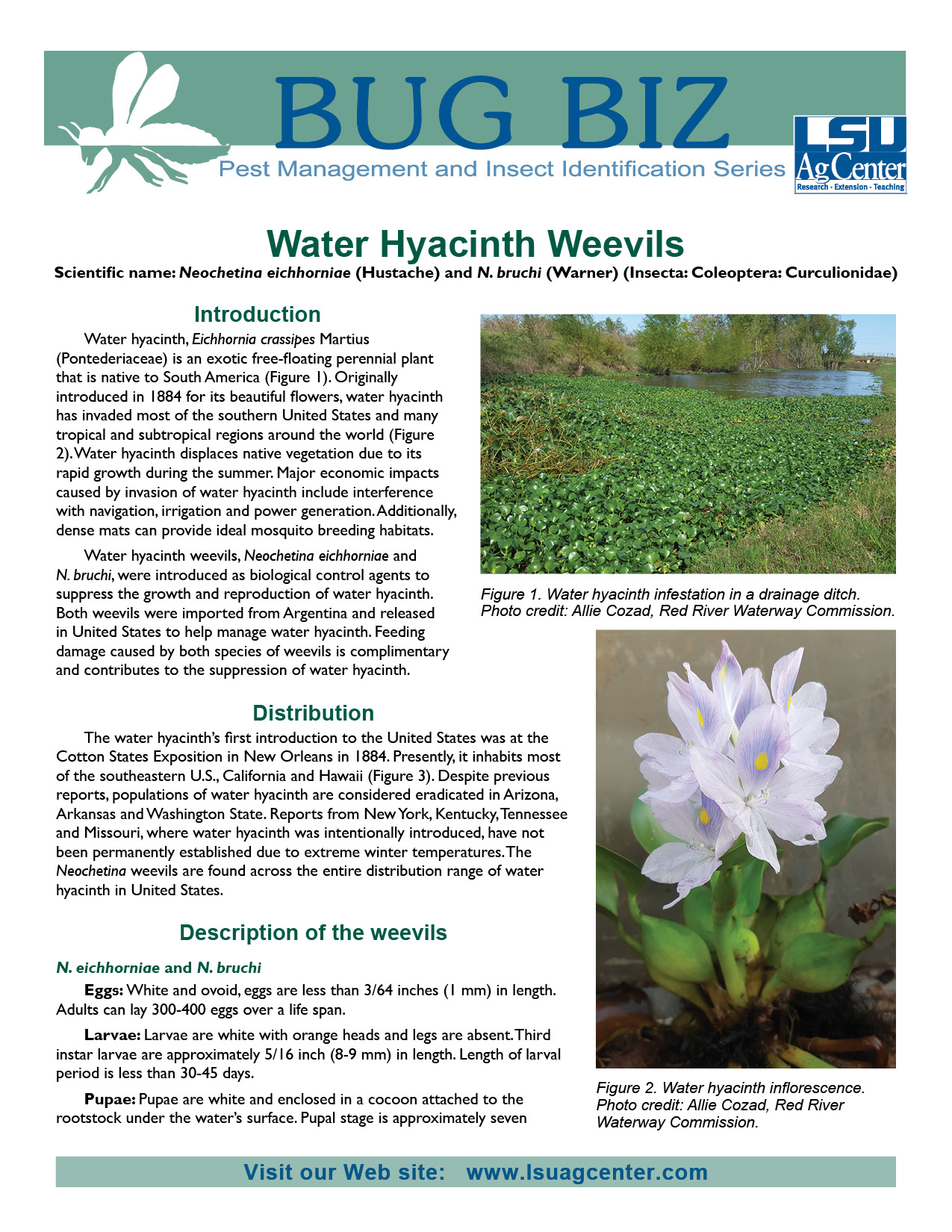 Water Hyacinth Weevils