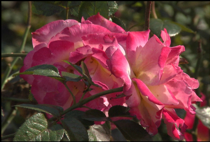 Caring for roses during winter