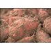 Rainy weather could ruin another sweet potato crop