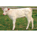 Cattlemen Pleased with Cloned Calf, Thanks to LSU AgCenter Research