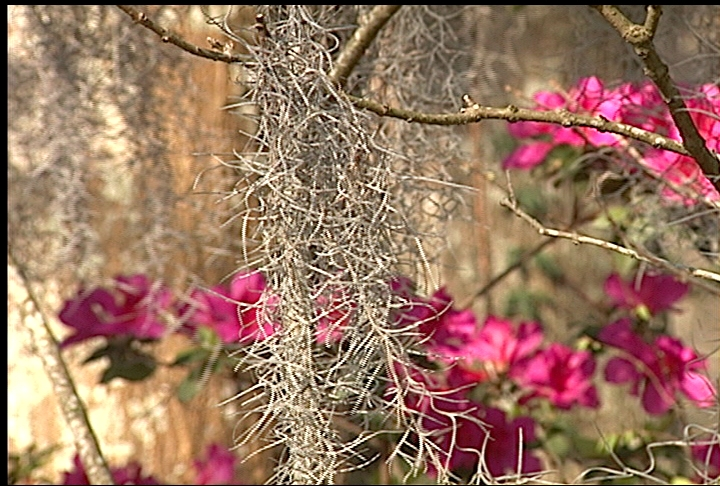 Spanish moss enhances landscapes