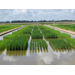 Farmers hear about row rice possibilities
