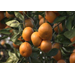 Citrus gets sweeter juicier with cooler weather