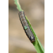Parasitized Fall Armyworm Larva
