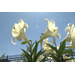 Easter lilies can be used in your garden
