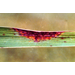 Chevron Leaf Scald Symptoms 2