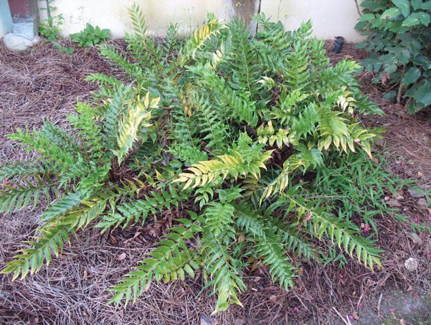 New Virus Causing Disease in Japanese Holly Fern