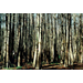 Baldcypress Site Relationships and Silviculture