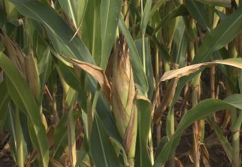 Corn and cotton benefit from good weather