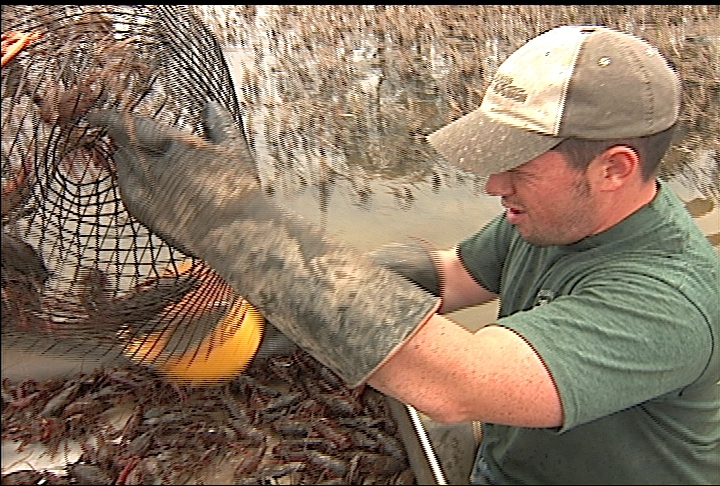 Crawfish harvest improves as weather warms