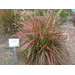 Fireworks purple fountain grass named Louisiana Super Plant