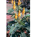 Cassia – Ornamental Plant of the Week for September 8, 2014