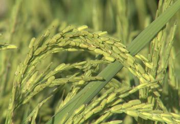 Rice crop in better shape than three previous crops