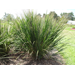 Switchgrass – Ornamental Plant of the Week for August 3, 2015