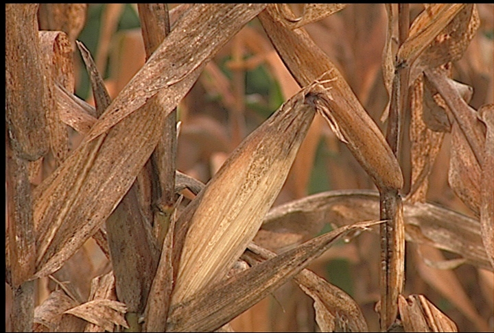 Weather affects corn and cotton crops