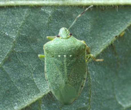 The Southern Green Stink Bug and the Brown Stink Bug