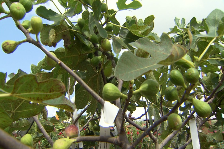 Purchase fig trees but wait until fall to plant