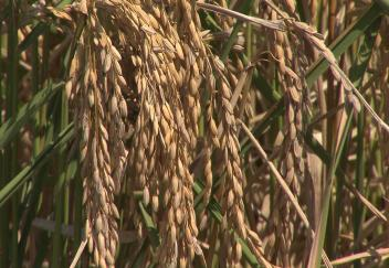 Weather conditions hinder rice growth