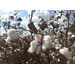 Louisiana cotton crop disappointing