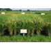 LSU AgCenter Releases Two New Rice Varieties for 2012