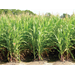 Flex-ear, Fixed-ear Corn and Optimum Plant Population